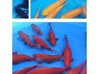 101 LOT New Fish Common / mirror Carp / yellow / red goldfish