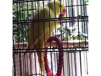 Indian ringneck parrot