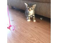 I have one beautiful female tabby kitten left