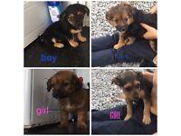 Yorkshire terrier X Jack Russell pups 2x boy 2x girl