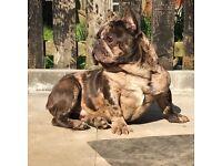 Merl French bulldog