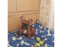 French bulldog puppy - boy