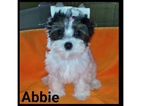 Mini Female Biewier Yorkshire Terrier puppy for sale. Fully vaccinated and ready to go