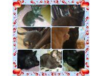 Gorgeous smoky black/chocolate girl kitten