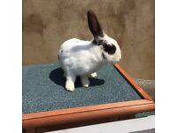 Dutch Rabbit for sale | want gone asap please