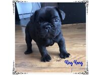 **NEW!** 7 Beautiful French Bulldog Puppies For Sale!