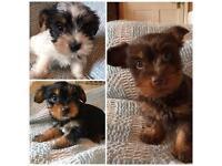 Parti Yorkshire terrier puppies