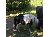 Shetland mare in foal