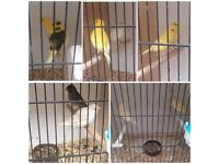 Various canaries for sale