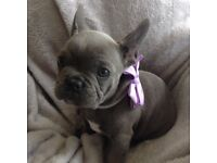 Kc reg French bulldog puppys 3boys 2 girls blue brindle in colour and blue fawn in colour