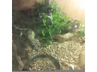 Leopard gecko with tank set up £50