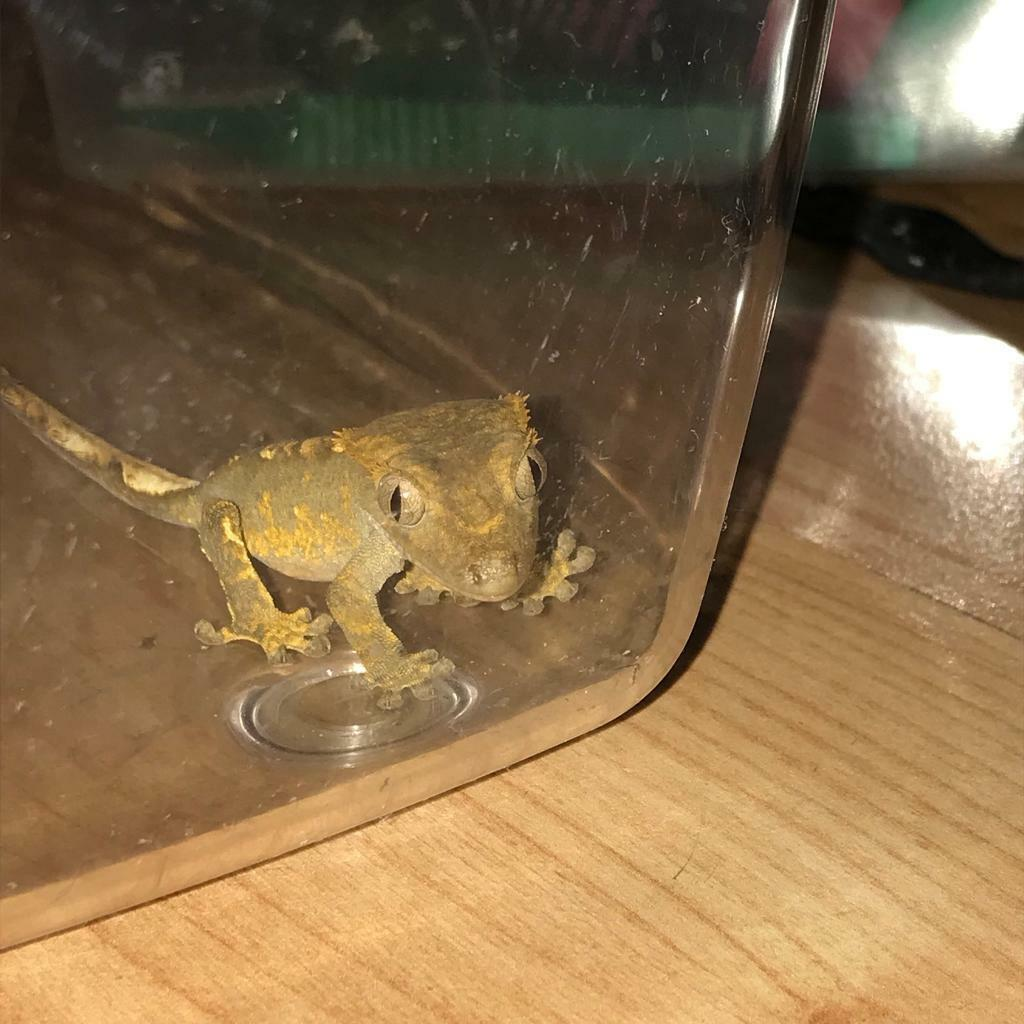 Baby Crested gecko (harlequin) - with setup