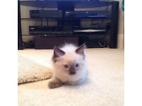 2 x Ragdoll Kittens For Sale