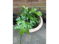 Exotic fascia japonica big pot