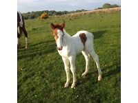 Horse and foal for sale