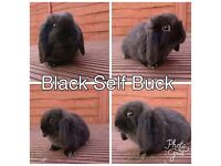Gorgeous Black Self Mini Lop Baby