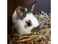 English Baby Rabbits for sale