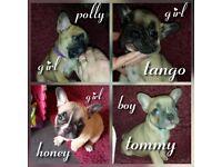 **Stunning French Bulldog puppy's** KC registered.