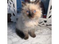 Beautiful Ragdoll kitten with blue eyes, 9 weeks old