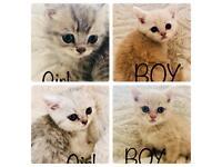 Beautiful BHS kittens