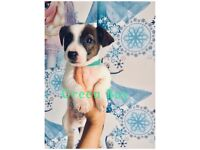ONE LEFT- Beautiful Jack Russel puppy for sale