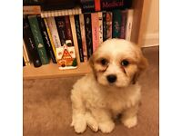 Gorgeous Cavapoo puppy for sale