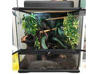 Crested Gecko + Terrarium