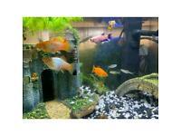 Tropical fish Platy fish