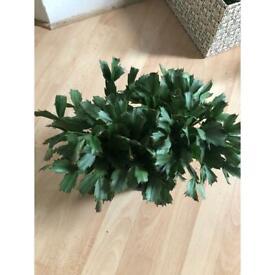 Hanging schlumbergera plant