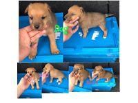 Only 1 left Plummer terrier x jack Russell puppies