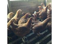 POL Goldline hens