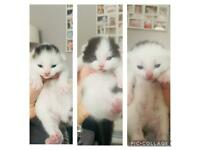 3 beautiful Kittens ready around 26th April