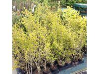 Variegated Privet Hedging Plants