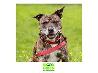 Chuck - Staffordshire Bull Terrier - 8 years 3 months old - Looking for his Forever Home