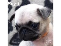 KC Reg Pug Puppies For Sale 1 Boy & 1 Girl Left!!
