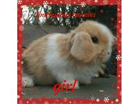 Pure mini lop baby bunnies
