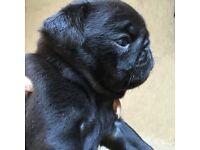 Stunning KC pedigree pug puppies