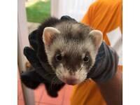 Ferret Kit free to good home