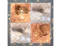 ✨🐾🐯 A Bunch Of Beautiful Bengal x British Blue Kittens For Sale 🐯🐾✨ *Can Deliver*❤️🐯🎁🚚