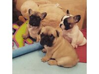 Superb litter of frenchbulldog puppies.