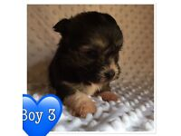 One boy pup left jackhuahua x Lhasa apso