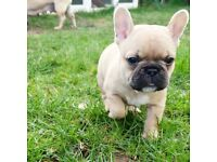 Bulldog Dogs Puppies For Sale Gumtree