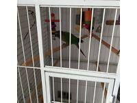 Green cheek conure parrot