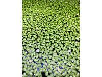 Duck weed aquarium plant