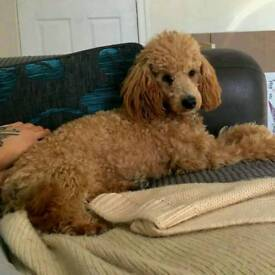 Stunning Young KC Apricot Toy Poodle