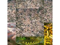 Nile Tilapia live frys and fingerlings for Aquaponics .