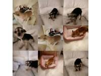 Two beautiful Chihuahua