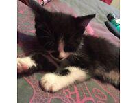 Kitten for sale ready now!!!!!