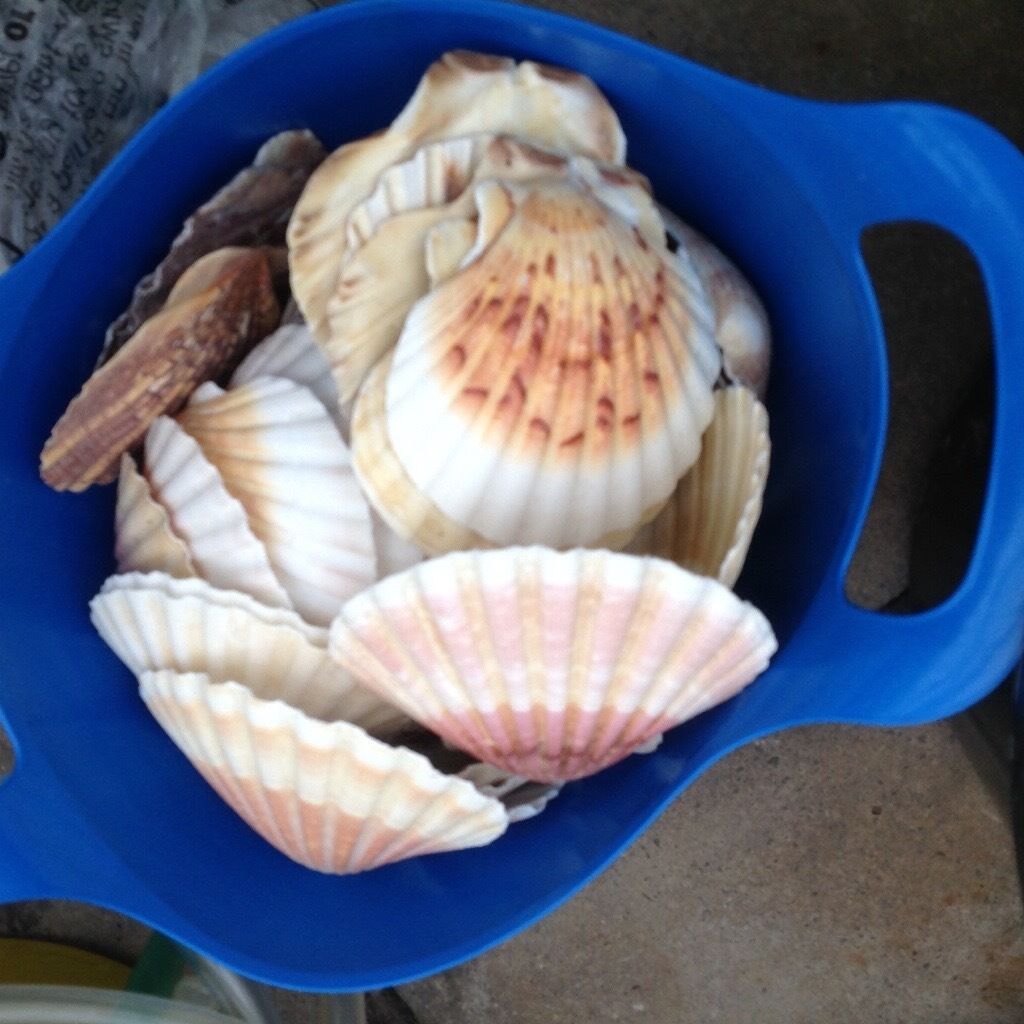 Scallop shells for kitchens or crafts excellent condition 50+