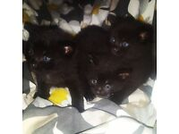 York chocolate kittens for sale! Playful